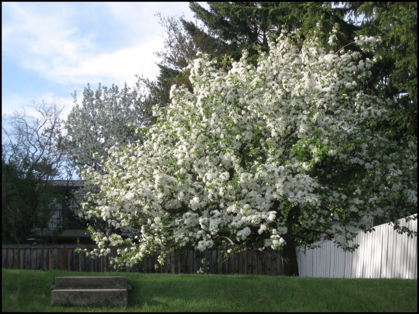 """crabapple tree in bloom"" ~ sld 060114"