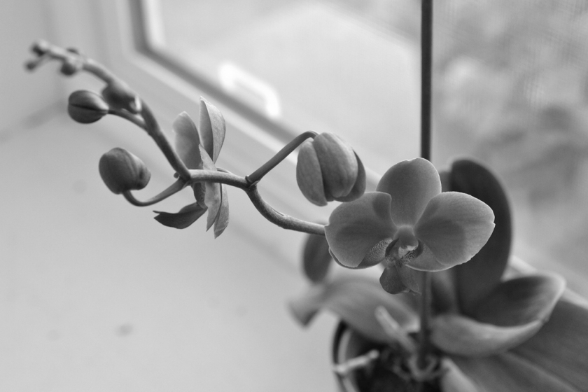 orchid on windowsill bw by sld