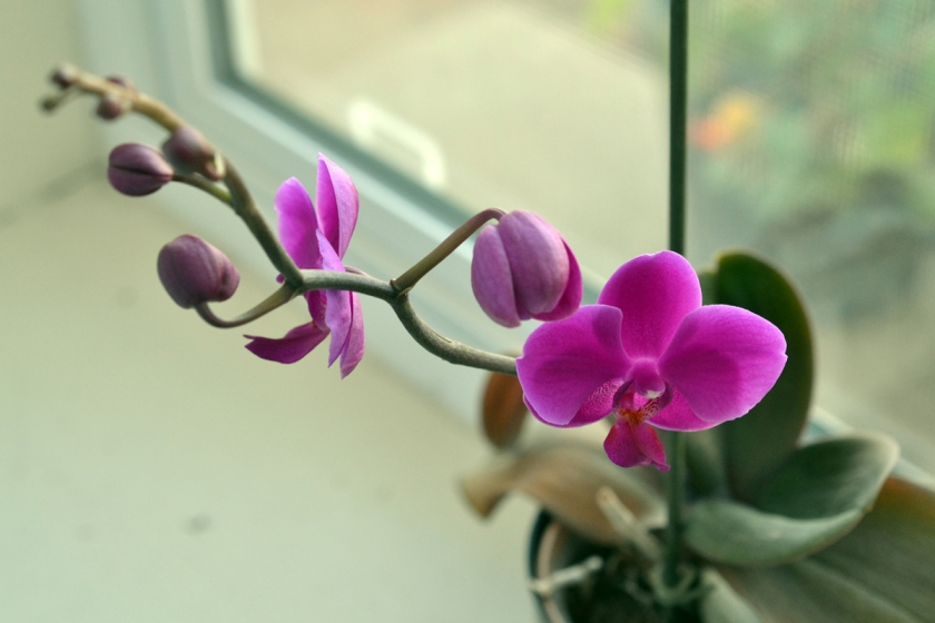 orchid on windowsill by sld