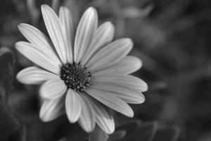 daisy by sld b-w 1200