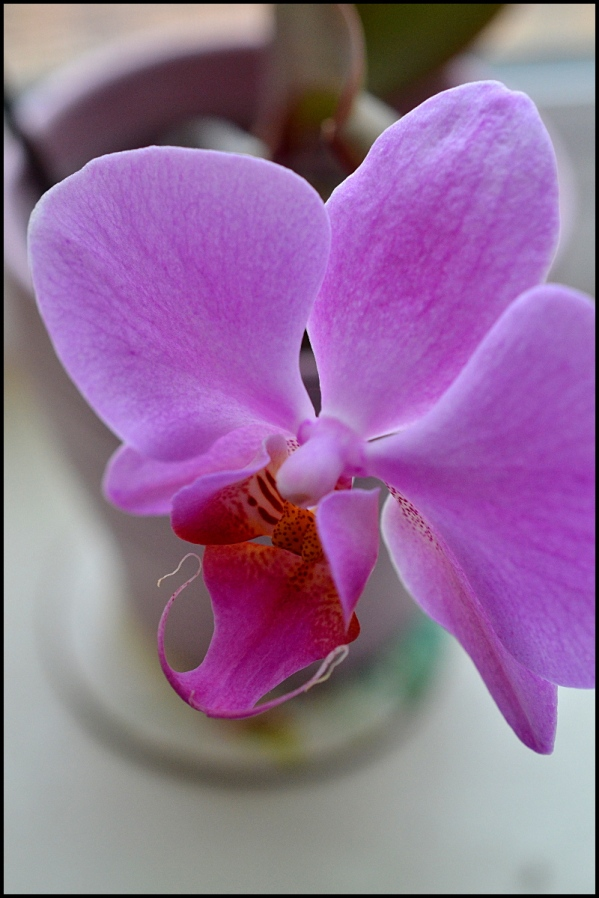 MD Orchid by sld